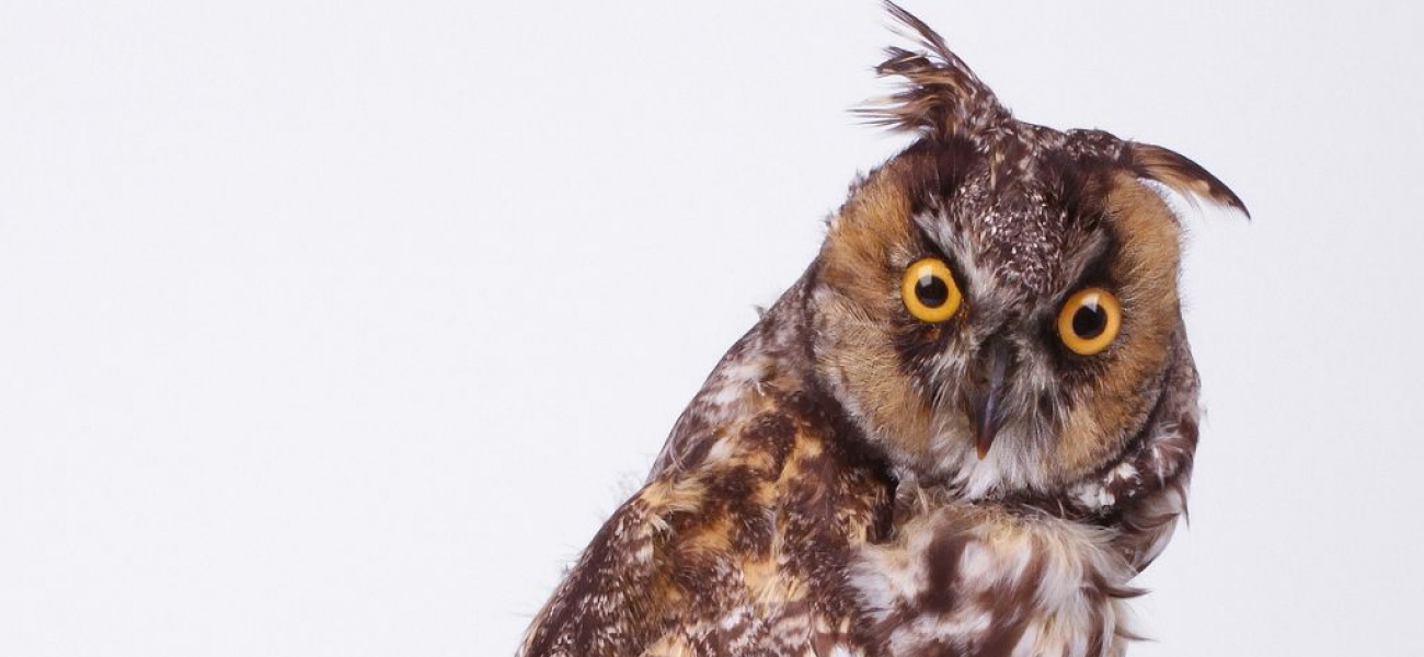 Taxidermy Long Eared Owl (Asio otus) (detail)